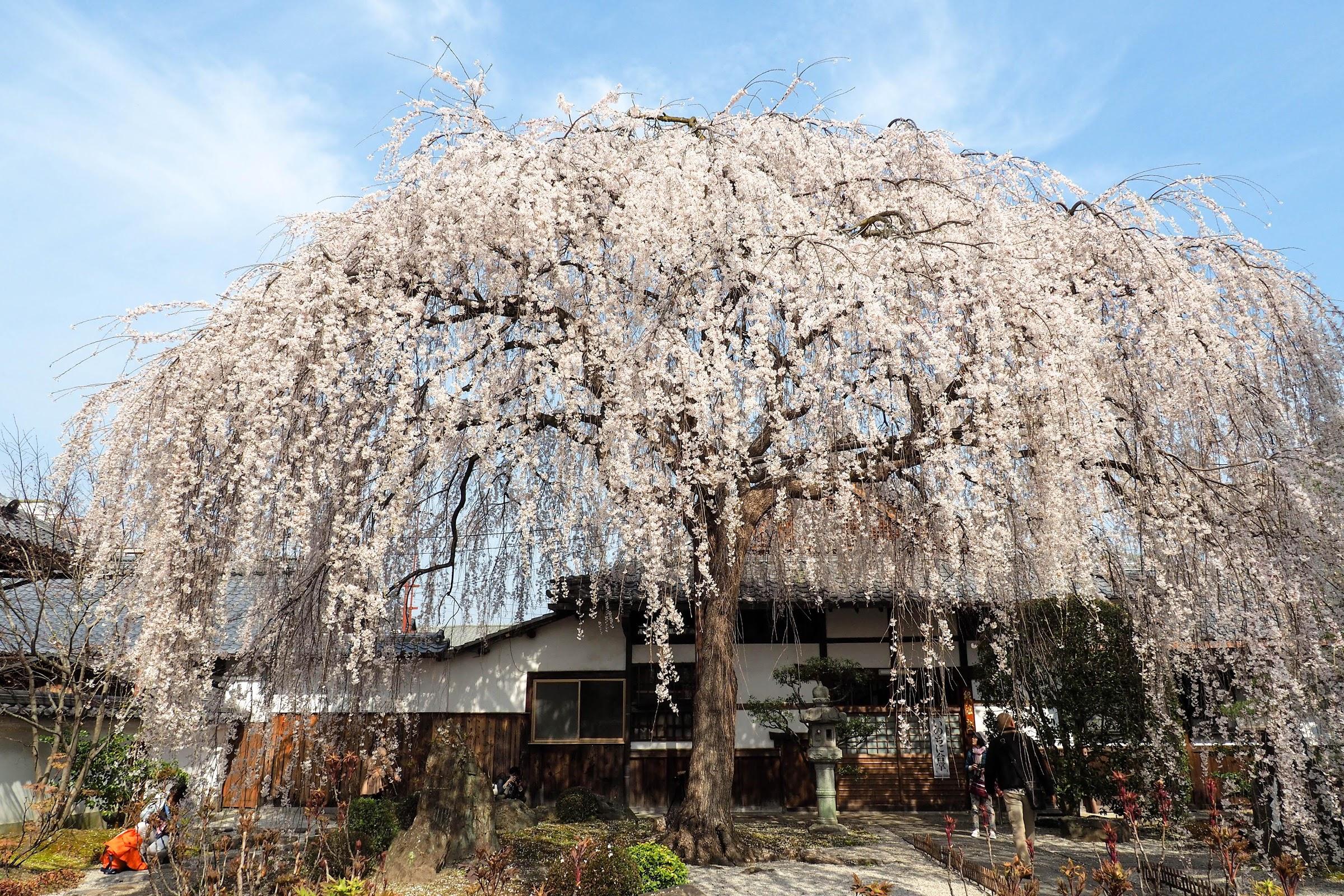 京都賞櫻|別再只去清水寺了!9處必訪的夢幻櫻花秘境 〖食攝人生事務所〗